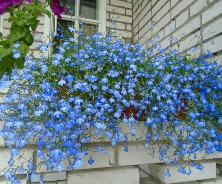 лобелия Lobelia Riviera Midnight Blue мир цветов